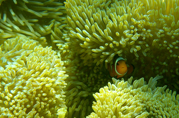 A clown fish hidden in a reef