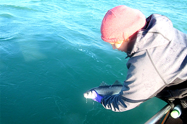 Volunteer returning a tagged Sea bass