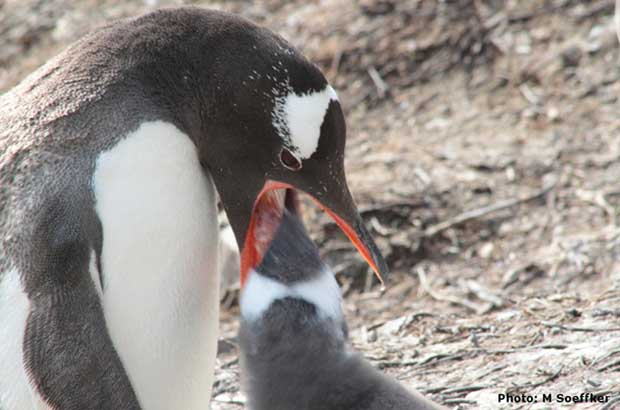 Gentoo penguin feeding a chick