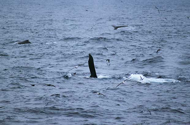 Humpback whales around Shag Rocks