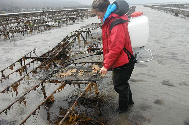 Oyster bays being sprayed with vinegar solution