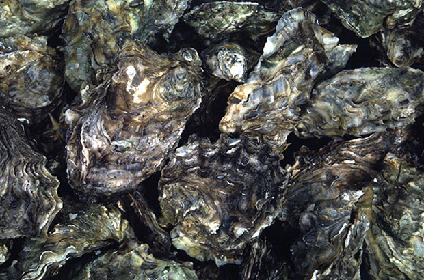 A close up of pacific oysters