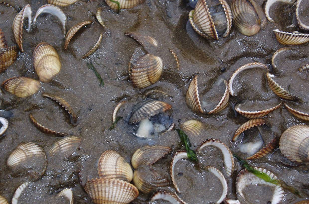 Dead cockles
