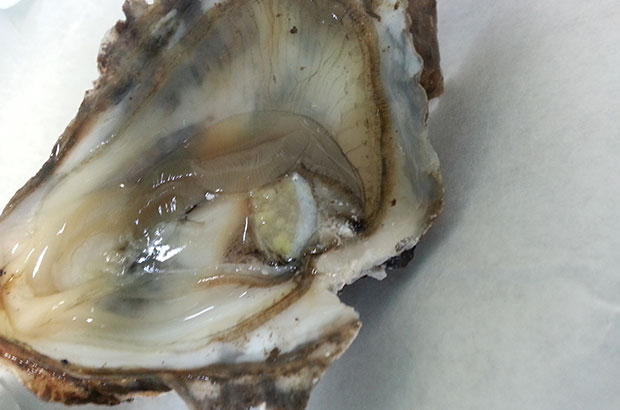 Green lesion in a Pacific oyster