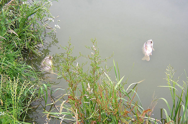 Dead carp in a fishery lake