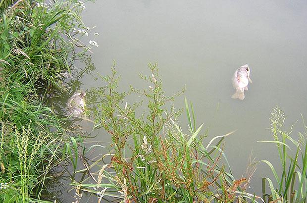Dead carp in a fishery lake