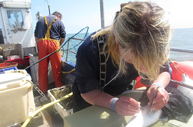 Scientist tagging seabass