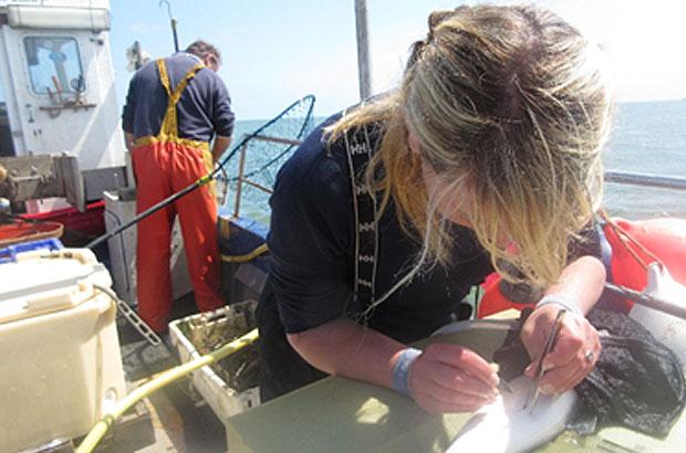 Scientist tagging seabass