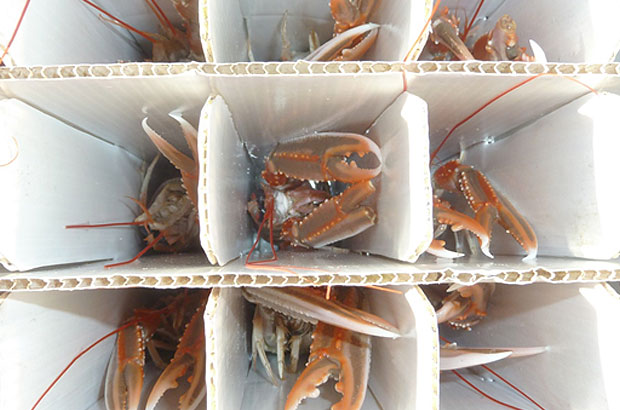Live Nephrops in container cells
