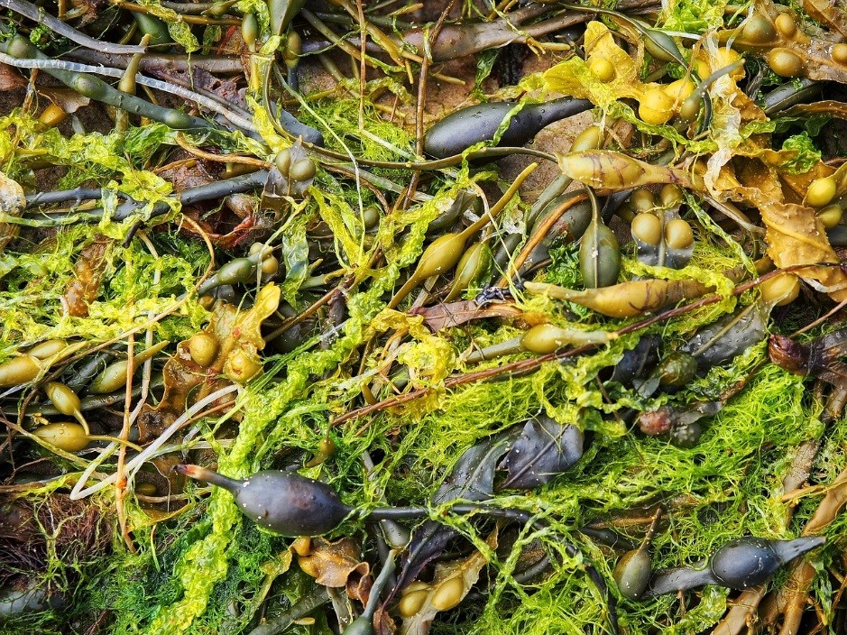 Seaweeds as found in the United Kingdom.