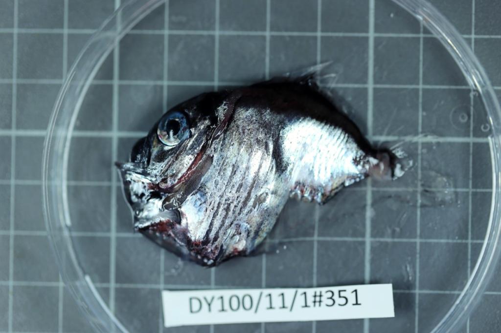 A hatchet fish in a petri dish