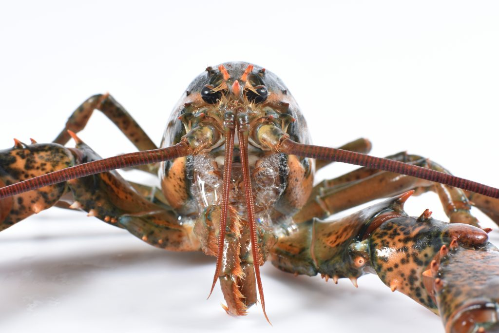 An American lobster
