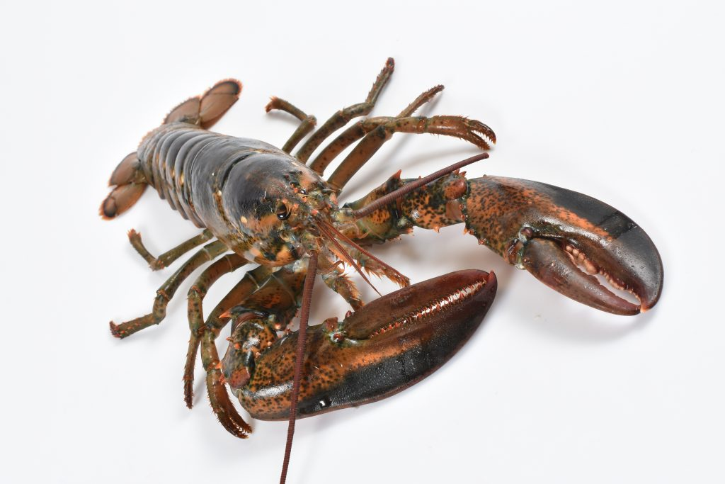 The full body of an american lobster