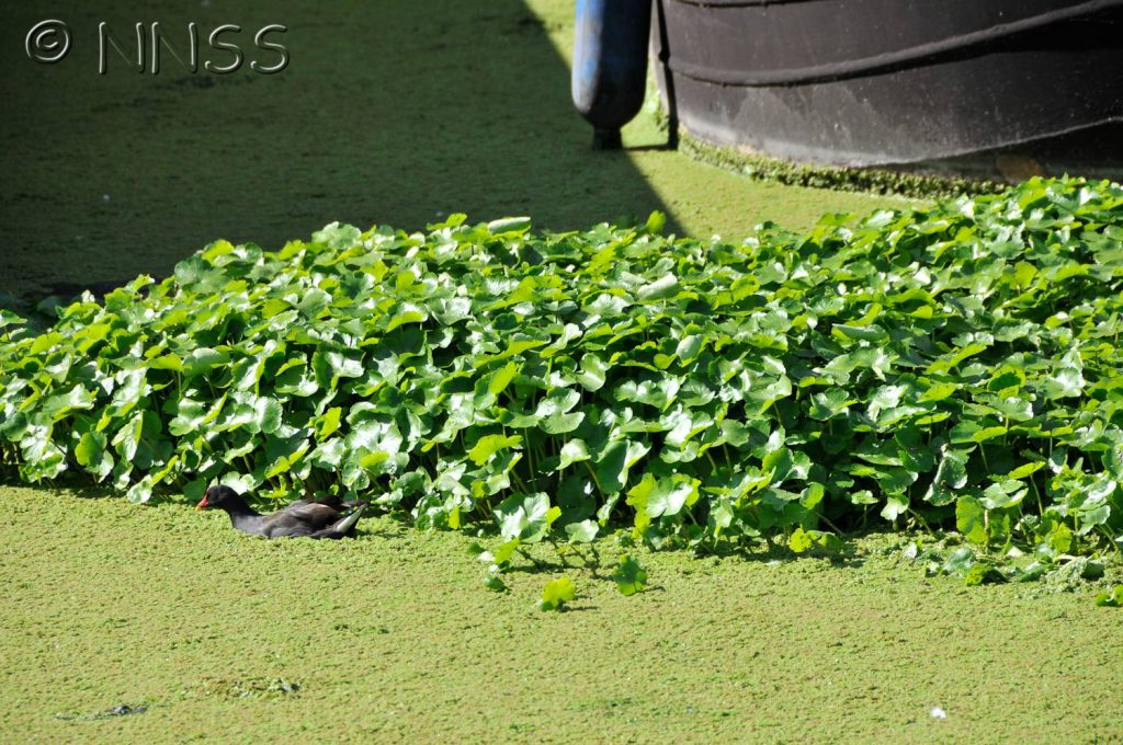 Floating pennywort - green plants growing on freshwater