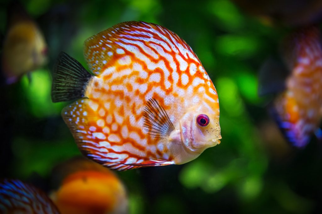 an orange and white fish swimming