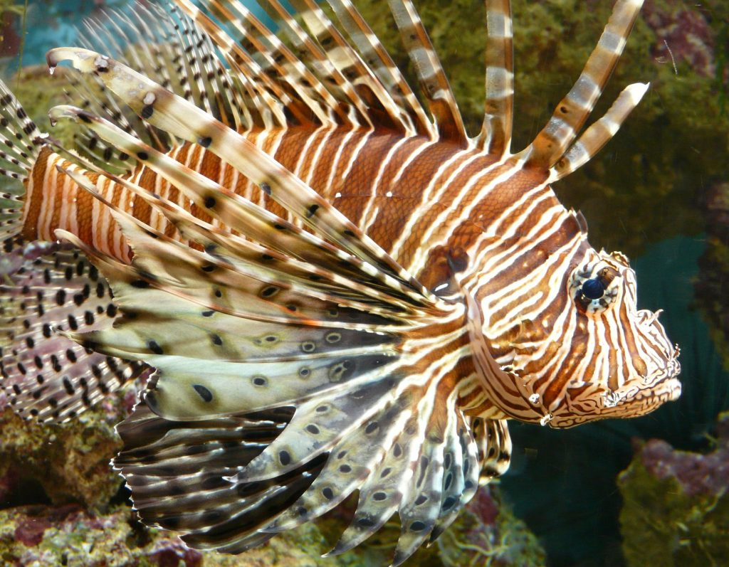 A lionfish looking for prey amidst corals