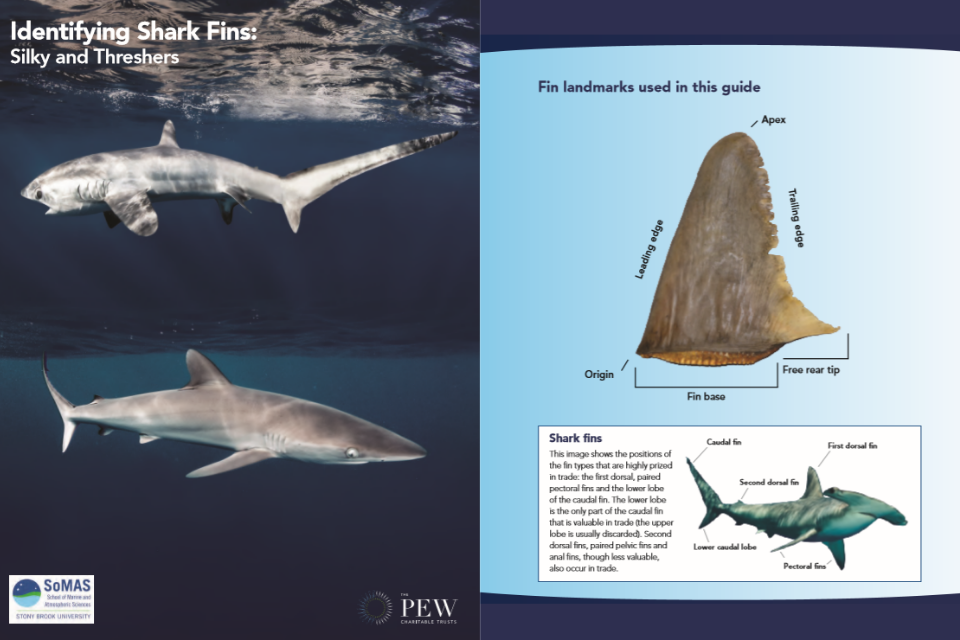 shark identification guide including fin landmarks