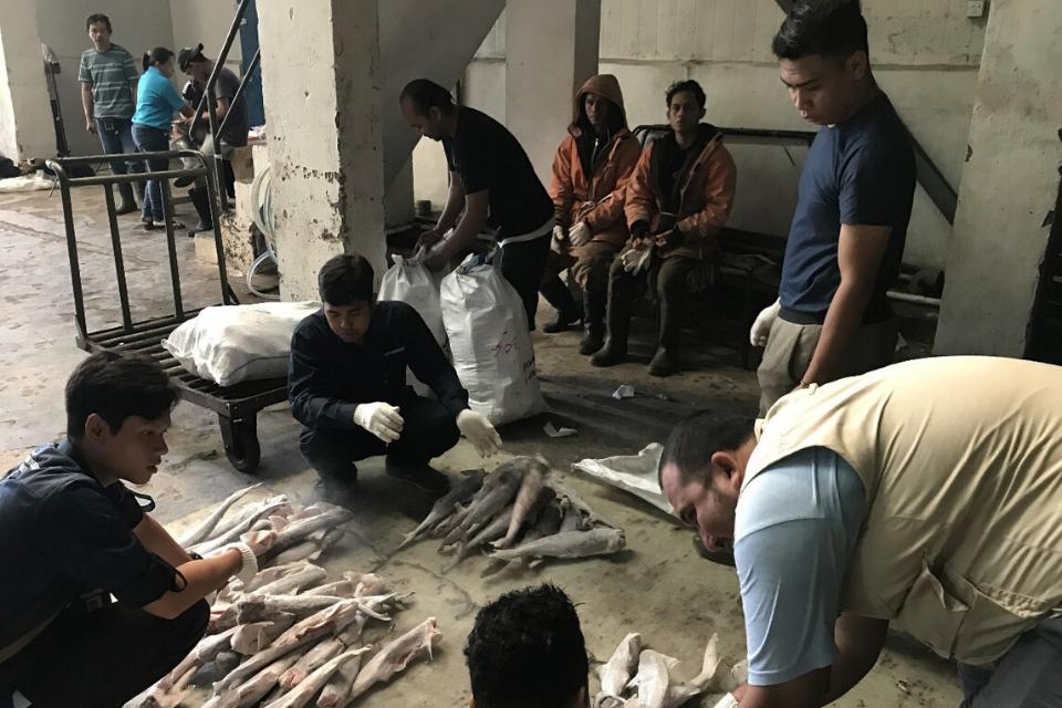 Men organising shark specimens