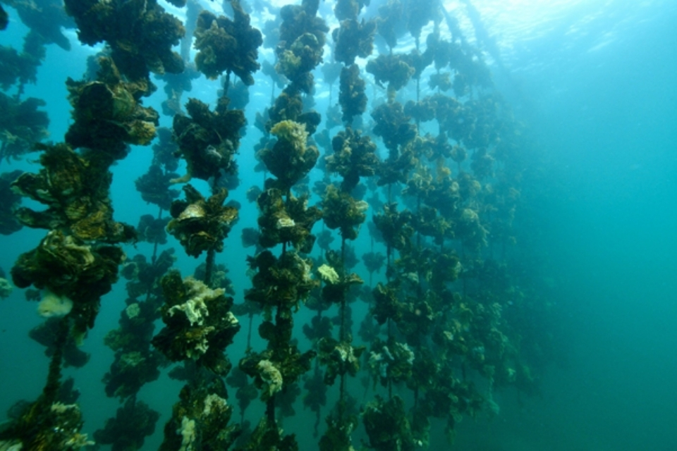 oysters growing on underwater ropes