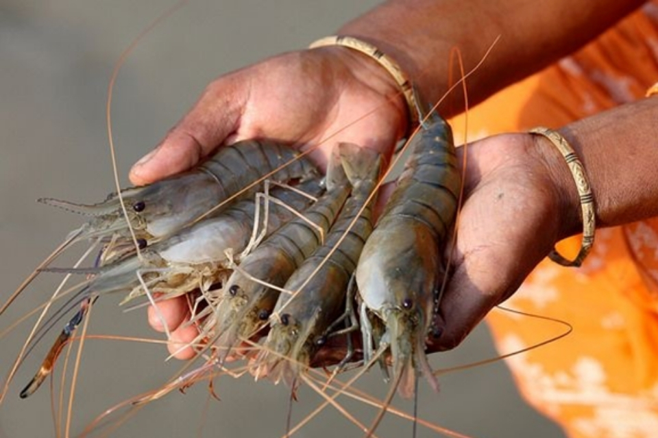 shrimp being held in a fisherpersons hands