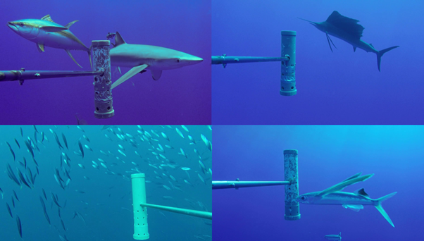 4 photos of fish swimming next to the BRUVS system