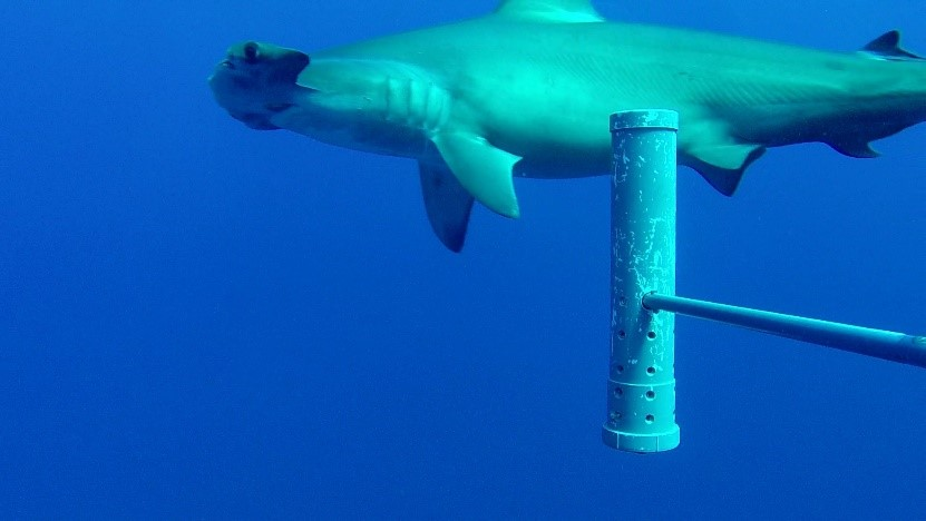 Scalloped hammerhead shark in BIOT