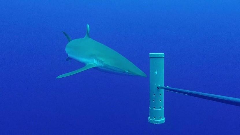 Silky shark at Ascension Island