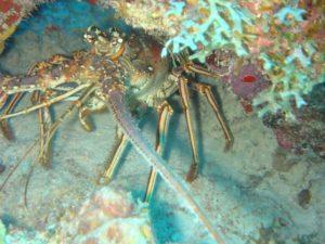 Spinny Lobster Anguilla