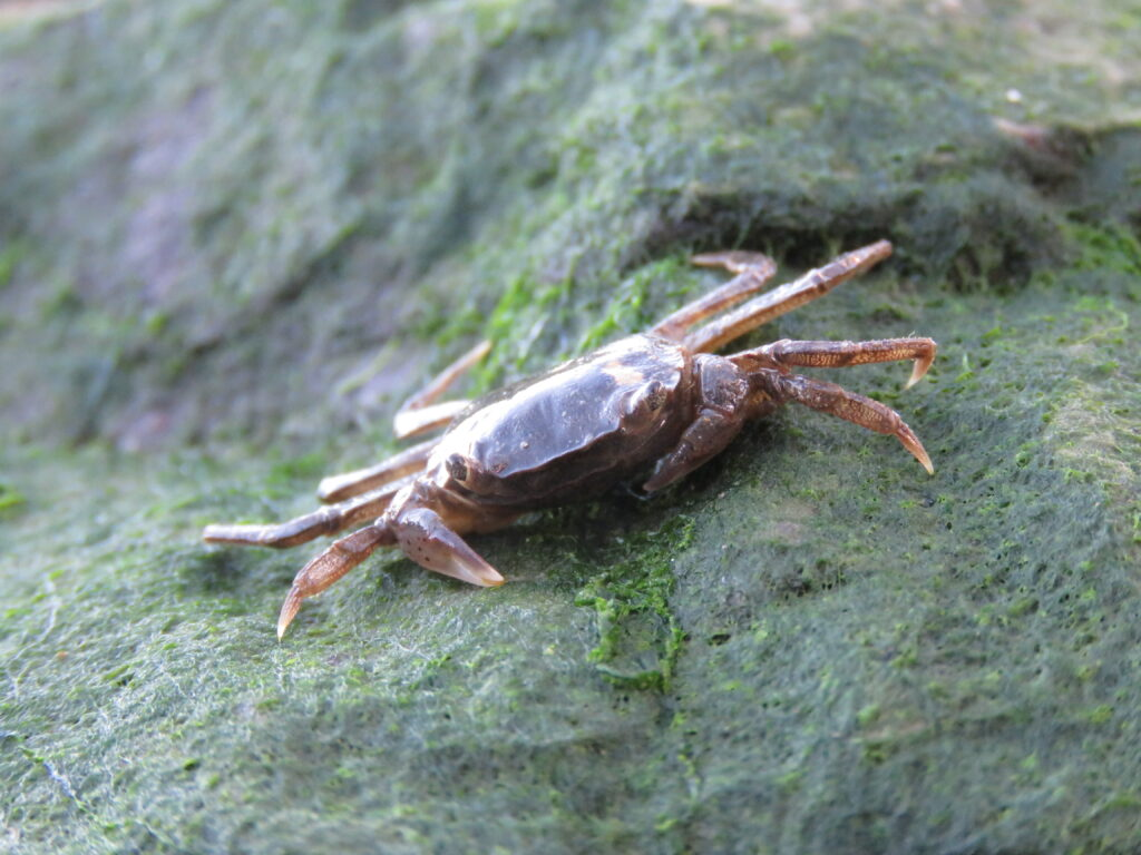 Non-native crab
