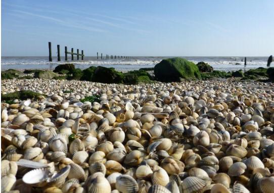 Cockles on Shellness Beach, Kent