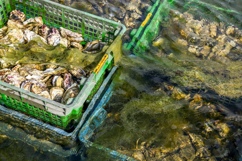 oysters in crates